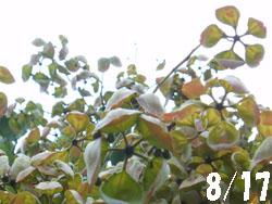 14_0830_aogiri1.jpg