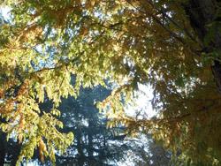 14_1129_metasequoia1.jpg