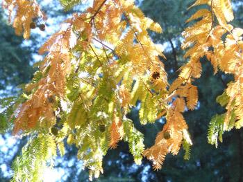 14_1129_metasequoia2.jpg
