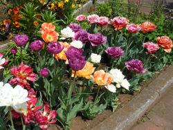 150524_tulip1.jpg