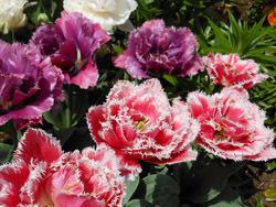 150524_tulip2.jpg