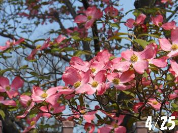 150525_hanamizuki13.jpg