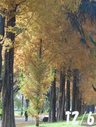 160113_metasequoia.jpg