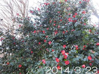 160130_y_tubaki2.jpg