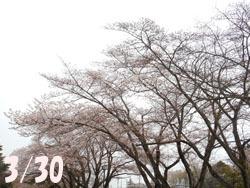 160418_sakura.jpg