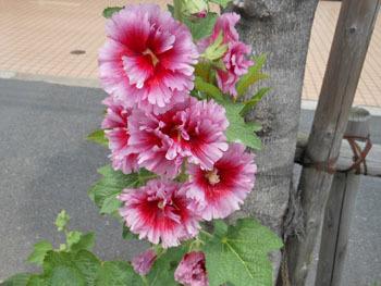 160727_tatiaoi2.jpg