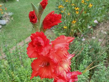 160824_gladiolus2.jpg
