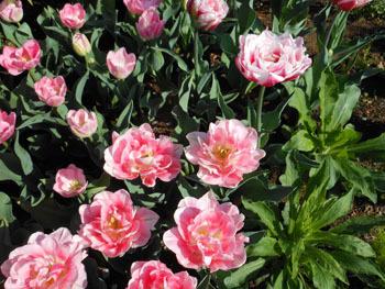 170517_tulip.jpg