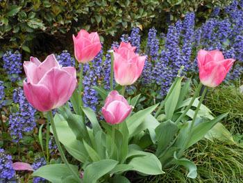 170519_tulip5.jpg