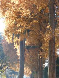 171222_metasequoia1.jpg