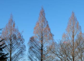 180127_metasequoia1.jpg