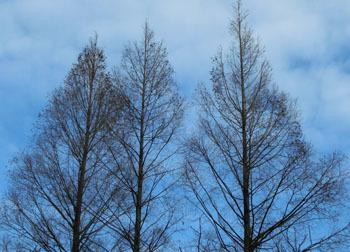 180219_metasequoia.jpg