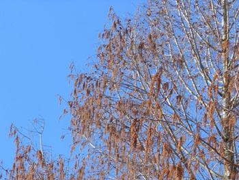 180228_metasequoia2.jpg