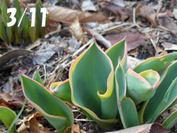 180403_tulip.jpg