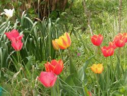 180521_tulip1.jpg