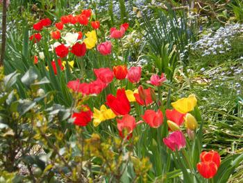 180521_tulip2.jpg