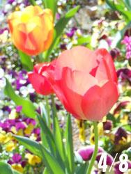 180525_tulip01.jpg