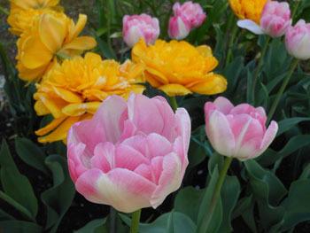 180525_tulip03.jpg