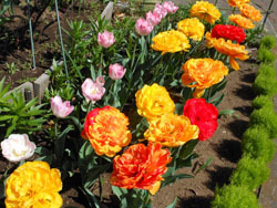 180525_tulip04.jpg