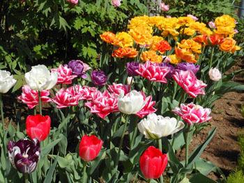 180525_tulip06.jpg