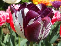 180525_tulip07.jpg