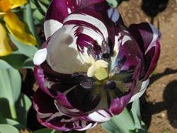 180525_tulip08.jpg