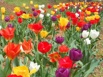 180530_tulip2.jpg