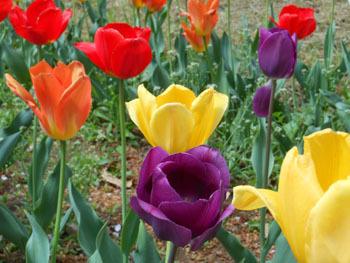 180530_tulip3.jpg