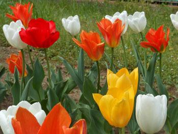 180530_tulip4.jpg