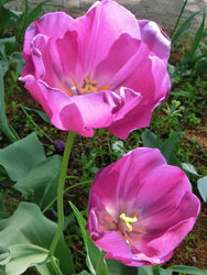 180624_tulip2.jpg