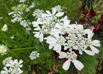 180729_o_grandiflora2.jpg