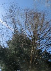 190314_metasequoia1.jpg