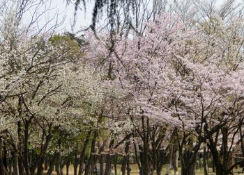 190604_sakura1.jpg