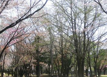 190604_sakura4.jpg