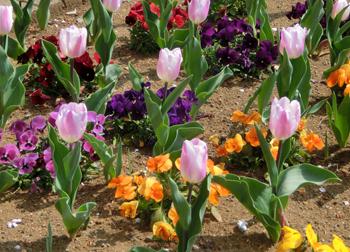 190604_tulip2.jpg