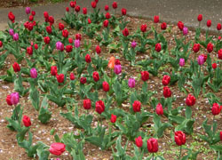 190613_tulip1.jpg