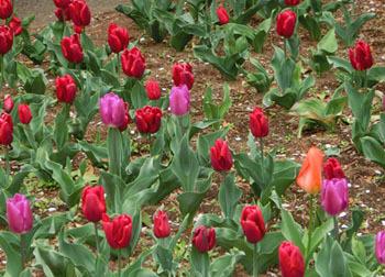 190613_tulip2.jpg
