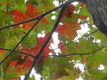 14_1124_red_oak.jpg