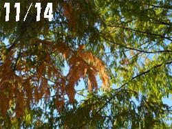 14_1126_metasequoia1.jpg