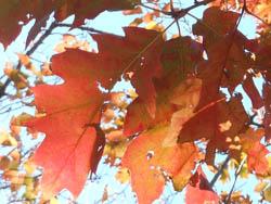 14_1203_red_oak3.jpg