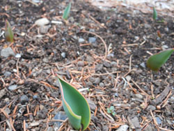 150226_tulip2.jpg