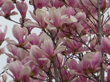 150422_magnolia.jpg