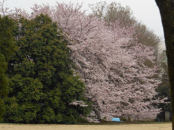 150422_sakura.jpg