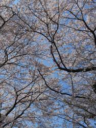 150429_sakura2.jpg