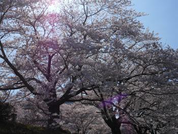 150429_sakura3.jpg