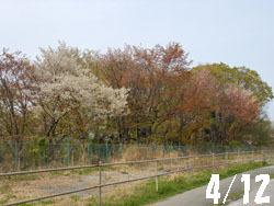 150509_yamazakura1.jpg