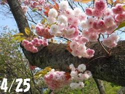 150530_yaezakura08.jpg