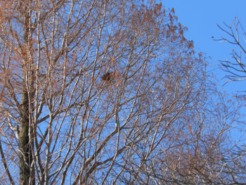 160125_metasequoia1.jpg