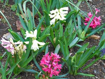 160325_hyacinth.jpg