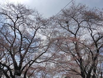 160413_sakura.jpg